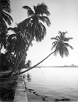 Palm Tree in Lake Worth, 1946